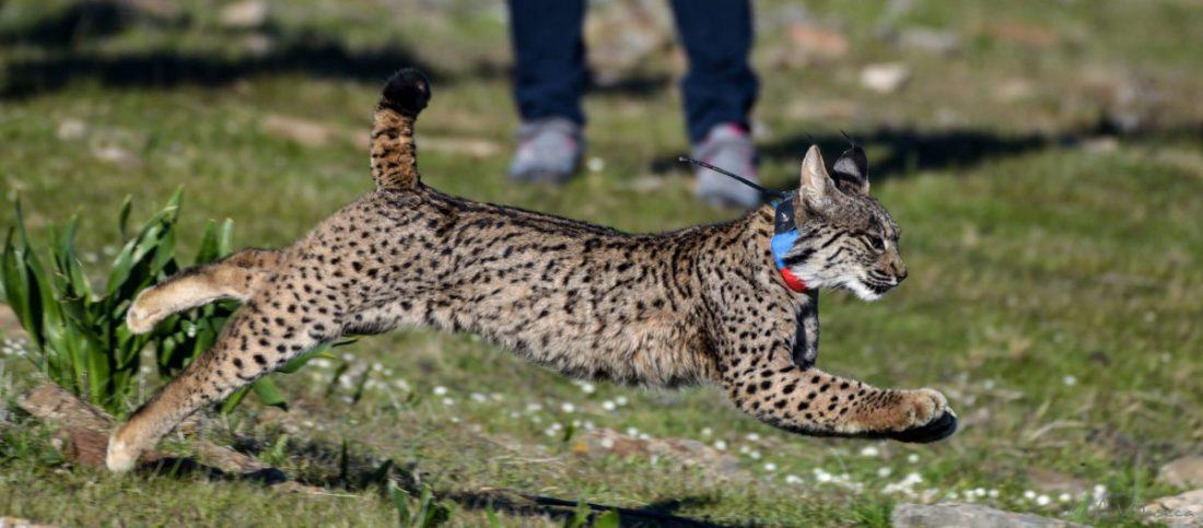 AionSur: Noticias de Sevilla, sus Comarcas y Andalucía Suelta-lince-Quincha-min La Junta libera cinco linces en 2020 para facilitar el intercambio genético y reforzar la población Animales