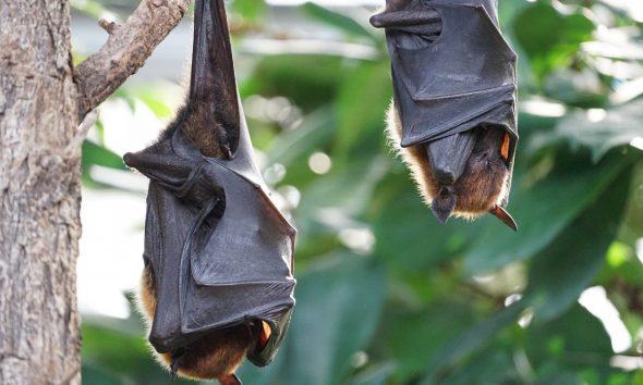 AionSur murcielagos-1-590x354 Coria de Río usará murciélagos para eliminar los mosquitos del virus del Nilo Salud destacado
