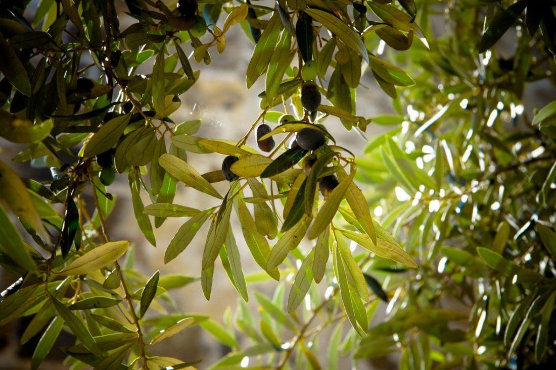 AionSur olivo Unos 450 vecinos de El Viso cambiaron el abeto por un olivo en Navidad Sociedad destacado