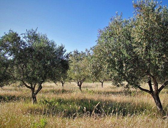 AionSur olivos-olivar-560x427 Obtienen tres variedades de olivos más resistentes a la verticilosis Agricultura