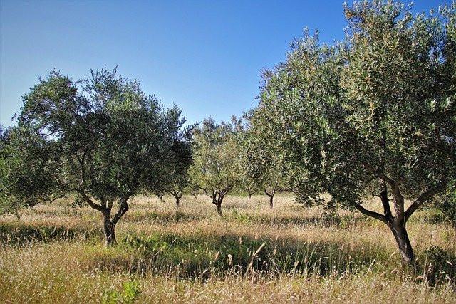 AionSur olivos-olivar Obtienen tres variedades de olivos más resistentes a la verticilosis Agricultura