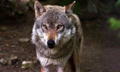 AionSur: Noticias de Sevilla, sus Comarcas y Andalucía wolf-635063_1920-min-400x240 Las organizaciones agrarias exigen la retirada de la orden que pretende declarar al lobo especie protegida Agricultura