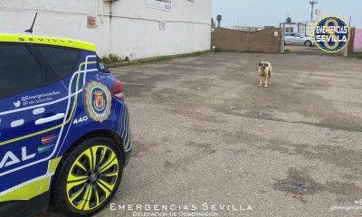 AionSur: Noticias de Sevilla, sus Comarcas y Andalucía Perro-Sevilla-400x240 Herida grave una mujer atacada por un perro en Sevilla Sucesos destacado