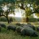 AionSur: Noticias de Sevilla, sus Comarcas y Andalucía cerdos-80x80 Que un cerdo lleve el nombre de tu ex, la idea de una empresa para el Día de la Expareja Sociedad destacado