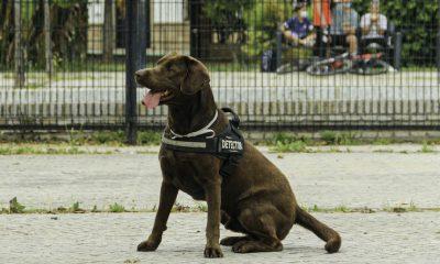 AionSur: Noticias de Sevilla, sus Comarcas y Andalucía perro-kilo-400x240 'Kilo', el perro policía que lucha contra la droga en Bormujos Sociedad destacado